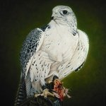 Gyrfalcon with prey   By Jan Teunissen