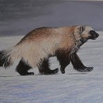 Kamchatka winter wolverine By Jeff Cain