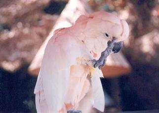 Artist: Jennifer Barry - Title: Pink Parrot - Medium: Color Photograph - Year: 1997