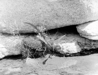 Judith Dernburg: 'Rocks and Reeds', 2012 Black and White Photograph, Seascape. Artist Description:   Grasses growing up through cracks in the rocks at Halibut Point, at the tip of Cape Ann, Massachusetts  ...