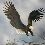 American Bald Eagle By Jerry Sauls