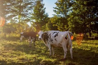Jocelynn Grabowski: 'cow farm', 2019 Digital Photograph, Farm. Went to a farm down the road from me and took photos of the cows. ...