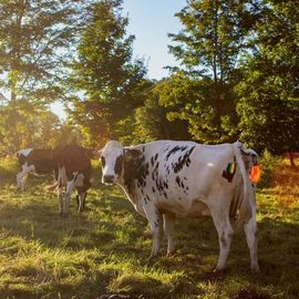 Jocelynn Grabowski: 'cow farm', 2019 Digital Photograph, Farm. Artist Description: Went to a farm down the road from me and took photos of the cows. ...