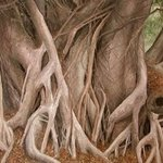 Banyan Tree Trunks By James Morin