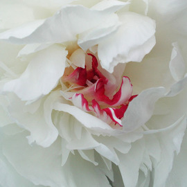 Jim Wright: 'peony', 2002 Color Photograph, Floral. Artist Description:   white peony bloom    ...