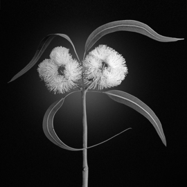Jo Francis Van Den Berg: 'jf eukalyptus bw 02', 2019 Digital Photograph, Floral. Artist Description: Face of Eukalyptusprinted on HahnemA1/4hle Fine Art Print paperLarger sizes on demand...