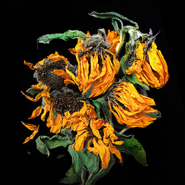 Jo Francis Van Den Berg: 'jf sunflower04', 2019 Digital Photograph, Floral. Artist Description: Vanishing sunflowersprinted on HahnemA1/4hle Fine Art Print paperLarger sizes on demand...