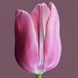 Jo Francis Van Den Berg: 'jf tulip 75', 2018 Digital Photograph, Floral. Artist Description: Pink Tulip closedprinted on HahnemA1/4hle Fine Art Print paperLarger sizes on demand...