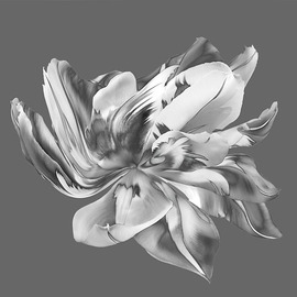 Jo Francis Van Den Berg: 'jf tulip bw 02', 2019 Digital Photograph, Floral. Artist Description: Dancing Tulip black whiteprinted on HahnemA1/4hle Fine Art Print paperLarger sizes on demand...