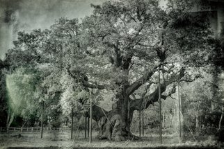 Jonathan Talks: 'major oak quercus robur', 2017 Mixed Media Photography, Nature. Artist Description: The Major Oak is a large English oak  Quercus robur  near the village of Edwinstowe in the midst of Sherwood Forest, Nottinghamshire, England. According to local folklore, it was Robin Hood s shelter where he and his merry men slept. It weighs an estimated 23 tons, has a ...
