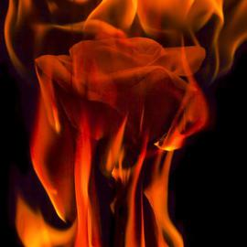 Flaming Rose