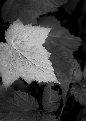 Jon Glaser: 'Leaf me Alone', 2013 Black and White Photograph, Botanical. Artist Description:   This image was photographed at one of the many forests in Oregon.  limited to 9 artist proof editions in a particular size. They will be signed and numbered on the back of the image.All images are available in the following sizes: 13x19 unframed on Luster photographic paper - ...