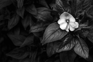 Jon Glaser: 'Lonely 1', 2011 Black and White Photograph, Landscape. Artist Description:  This image is from Mounts Botanical Garden in South Florida. The black and white conversion creates a dramatic effect utilizing the flower petals and the leafs to create a photograph that shows the subtlety of light. ...