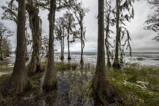Jon Glaser: 'Natures Bath II', 2016 Color Photograph, Nature. Artist Description:  Located in Central Florida, these Cypress trees we along the shore of a Lake.This limited- edition photograph, measuring approximately 16