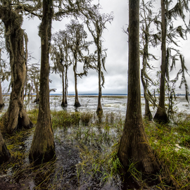 Jon Glaser: 'Natures Bath II', 2016 Color Photograph, Trees. Artist Description:  Located in Central Florida, these Cypress trees we along the shore of a Lake.This limited- edition photograph, measuring approximately 16