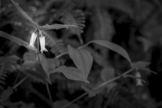 Jon Glaser: 'Two buds', 2011 Black and White Photograph, Landscape. Artist Description:  Two flowering buds are accentuated in this black and white photograph. The dark leaves and plants surround it, but you do not loose its simplicity. ...