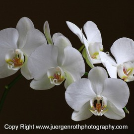 Juergen Roth: 'Orchids', 2010 Color Photograph, Floral. Artist Description:  Limited signed edition LightJet Photography Print on Archival Fuji Paper 18 x 24, double matted and framed to 31 x 26 inches.    ...