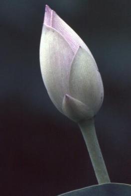 Artist: Katja Liedle - Title: Sacred Lotos - Medium: Color Photograph - Year: 1999