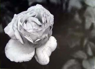 Karen Tenni: 'mottled rose', 2005 Silver Gelatin Photograph, Nature.