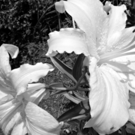 Kristine Caroppoli Artwork Lily II, 2011 Black and White Photograph, Floral