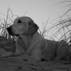 Kristine Caroppoli: 'Sphinx II', 2011 Black and White Photograph, Dogs. Artist Description: Caroppoli, digital photography, black and white, dog portrait, labrador retriever, animals, dogs, oscar, dog on the beach, Sphinx like portrait, art, best friend, canine, pride, loyalty, love, happiness, unconditional, lab, yellow, paws, safety, protector, pack dog, bird dog, water dog, North Carolina, Avon ...