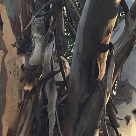 Luise Andersen: '2016 January PRECIOUS  EUCALYPTUS TREES details ', 2016 Color Photograph, Abstract. Artist Description:  TREASURE OUR TREESaEUR| THEY HAVE IMMENSE ENERGIES. . THIS LIFE FORM IS PRECIOUS. . ALSO IN THEIR 'GIVING' aEUR|2016 January 20- 21- aEUR| daughter inspired for this walk . . and drew me to the very old Eucalyptus trees. . these images are mostly from one of. . in this series, about 30 images from ...