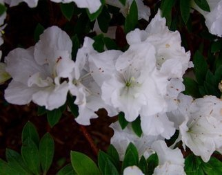 Color Photograph by Luise Andersen titled: AZALEA I, 2008