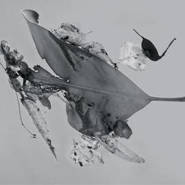 Luise Andersen: 'Abstract in Nature ENCHANTMENT AFLOAT I', 2013 Black and White Photograph, Abstract. Artist Description:   Creatively engaged with this originally color photograph of floating' enchantments' . . the' torn' heart engaged' me. . .' . . . and worked on debris. . colors . . converted into black and white. . adjusted, until it was for my' eyes' perfect. . . is a four view image. . . each has other figures etc. . yet is from SAME. .. . is ...