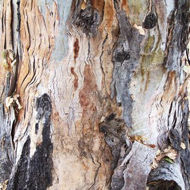 BARK OF EUCALYPTUS TREE IV