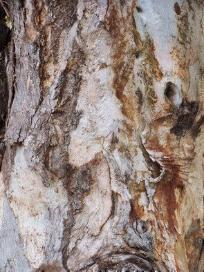 Luise Andersen Artwork BARK  OF EUCALYPTUS TREE II, 2011 Color Photograph, Trees