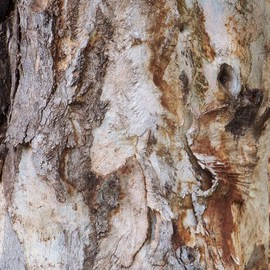 BARK  OF EUCALYPTUS TREE II