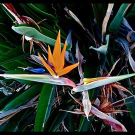 Luise Andersen: 'BIRD OF PARADISE I', 2013 Color Photograph, Floral. Artist Description:  JULY 24,2013- . . they bloom in abundance next to the golden Day Lilies. .Had to take series of them too. .hmmm. . ...