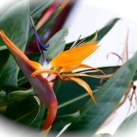 Luise Andersen: 'Bird Of Paradise I OCTTHRTYONEOTWLVE', 2012 Color Photograph, Floral. Artist Description:  viewing this beautiful Exotic Flower. . releases feel of stress. . chaos. . . . . Wish You  Love. . . . Light . . .   Peace. . . * * size for uploading purpose Only. ...
