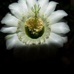 CACTI  NIGHT BLOSSOM  No One By Luise Andersen