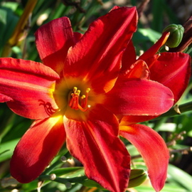 Luise Andersen: 'DAYLILLY  Two  GLENN AND RICHARDS GARDEN', 2007 Color Photograph, Floral. Artist Description:  Intense color. From every angle light hit different, so hues changed with it, even though overall same. Warm intense passion red. Different kind of passion red. ...