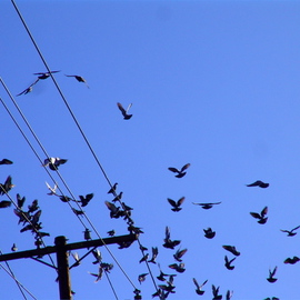 Luise Andersen: 'DOVES IN FLIGHT II  Settling down', 2008 Color Photograph, Birds. Artist Description:  . . there they are. . did their circle and settling back on wires. . coo. . cooing. . ...