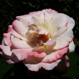 Luise Andersen: 'Enchnatment in Pink ROSE II', 2011 Color Photograph, Floral.