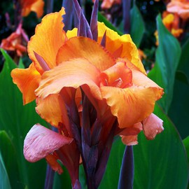 Exotic Canna Lilies I