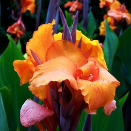 Luise Andersen: 'Exotic Canna Lily II', 2011 Color Photograph, Floral. Artist Description:  . . print not available at present. . size for upload purpose in my portfolio only. ...