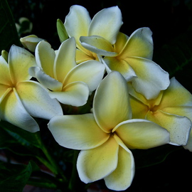 Luise Andersen: 'Exotic Flower PLUMERIA I', 2012 Color Photograph, Floral. Artist Description:      * * size for uploading purpose only  . . OR PLUMERA        in Hawai symbolic flower. . used in 'lei' . . head        ornate decos too. .this beauty grows in my friend Pauline' s Terrace Garden. Very prolific this year. .       ...