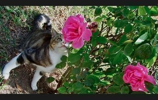 Luise Andersen: 'For The Smile In Your Eyes I', 2012 Color Photograph, Cats.  November 2012- - . . . taken at the Park. . took a series of these beautiful Roses. . and then 'SHE' came. . hmmm. . . captured' another' series of images . .. . smiling. .* * size for uploading purposes only. ...