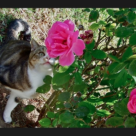 Luise Andersen: 'For The Smile In Your Eyes I', 2012 Color Photograph, Cats. Artist Description:  November 2012- - . . . taken at the Park. . took a series of these beautiful Roses. . and then 'SHE' came. . hmmm. . . captured' another' series of images . .. . smiling. .* * size for uploading purposes only. ...