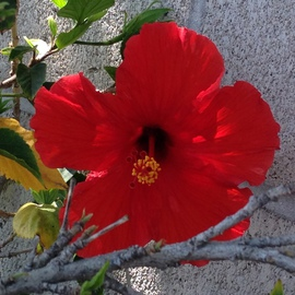Luise Andersen Artwork HIBISCUS are in full bloom RDI, 2014 Color Photograph, Floral