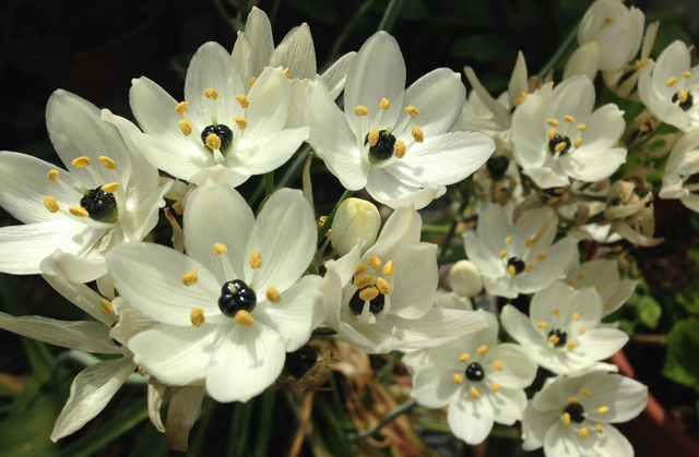Luise Andersen: Jewels Of Spring STAR OF BETHLEHEM, 2014 Color Photograph