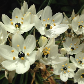 Luise Andersen: 'Jewels Of Spring STAR OF BETHLEHEM', 2014 Color Photograph, Floral. Artist Description:  APRIL 17,2013- -   pure enchantment. . and ohhh. their precious scent. .* size for uploading purpose only ...