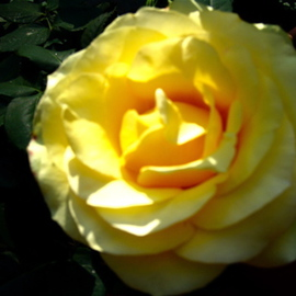 LAST YELLOW ROSE In Paulines Sanctuary