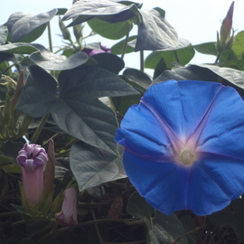 Luise Andersen Artwork Light Of Morning Glory, 2014 Color Photograph, Floral