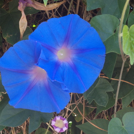 Luise Andersen Artwork Light Of Morning Glory XV, 2014 Color Photograph, Floral