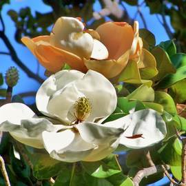Luise Andersen Artwork MAGNOLIA Of White and Gold  Light I, 2011 Color Photograph, Trees