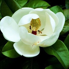 Luise Andersen Artwork MAGNOLIA  And  BEE I Her Lure Of Sweet , 2011 Color Photograph, Floral